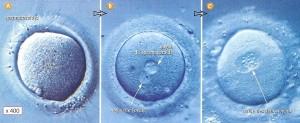 Fusion de cellule ... biologique et non numérique