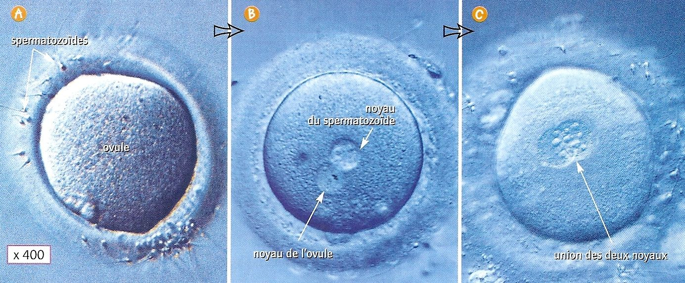 Fusion de cellule ... biologique et non numerique